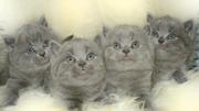 Продам британских котят голубого окраса