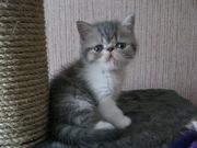 Чистокровные котята - экзоты