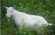 Продаются породистые козлы