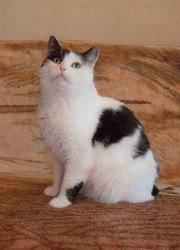 Кошка Мила,  1, 5 года. Стерилизована,  привита.